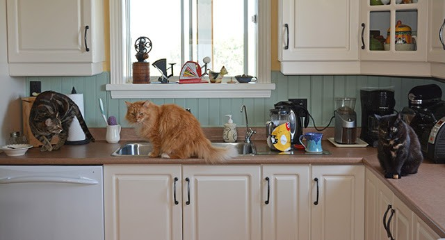 Cat on the Kitchen Counter