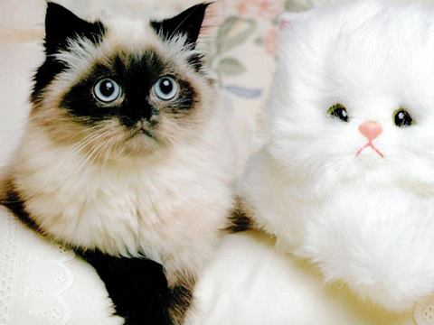 Real Cat with Stuffed Cat