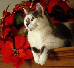 Kitty with Poinsettias