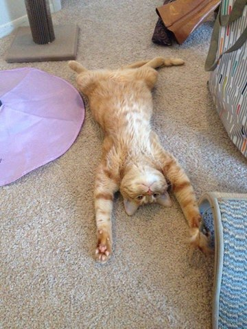 Tired Cat Exercising