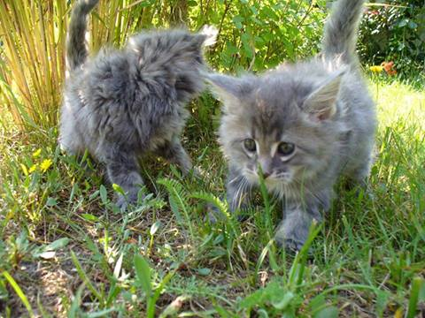 Two Kittens Walking in Grass for the First Time