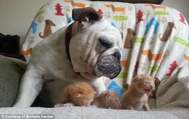 Bulldog and Kittens