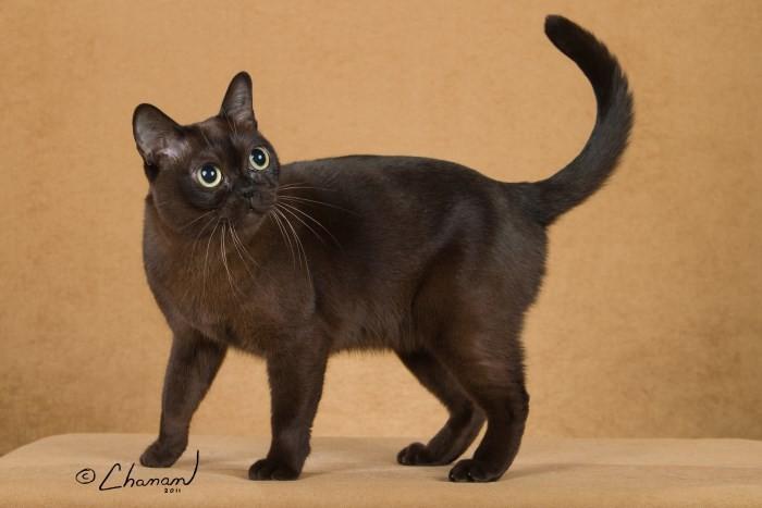 The Burmese Cat