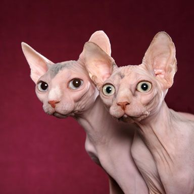 Two Sphynx Cats