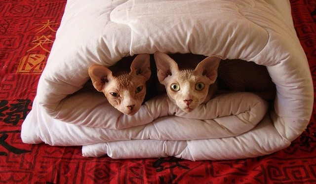 Sphynx Cats in a Blanket