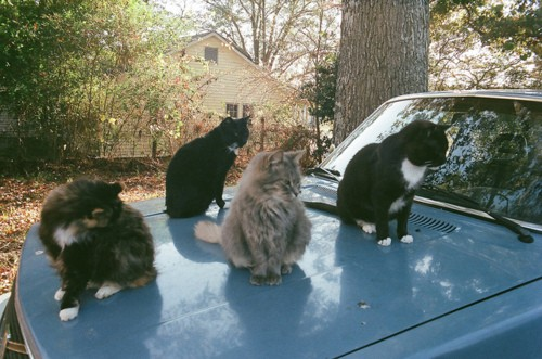 Cats on Hood of Car