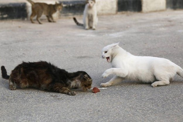 Cats Fight Over Food