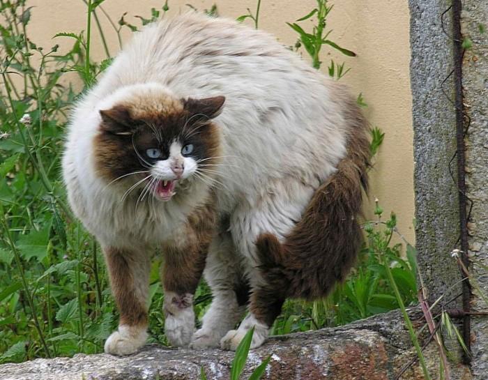 Puffed Up Feral Cat