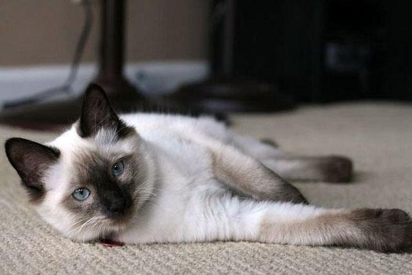 Fluffy Cat Grown