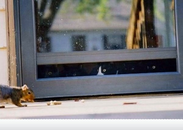 Cats Watching Squirrel