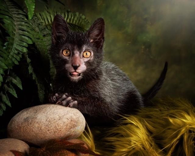 Lykoi, the Werewolf Cat