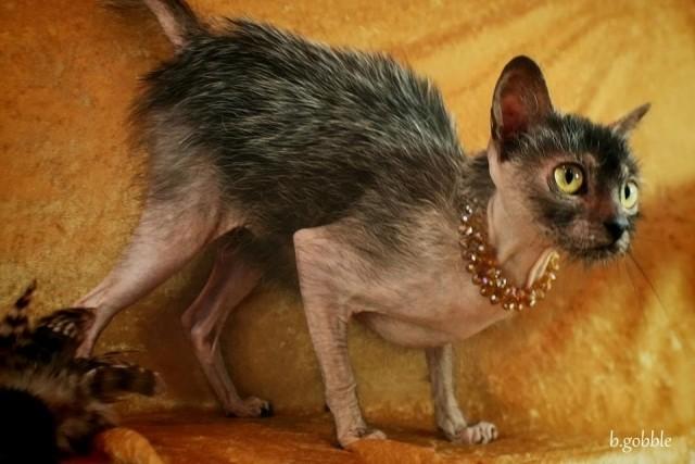Lykoi the Wolf Cat