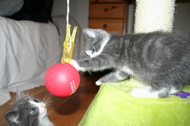 Kittens playing with balloon