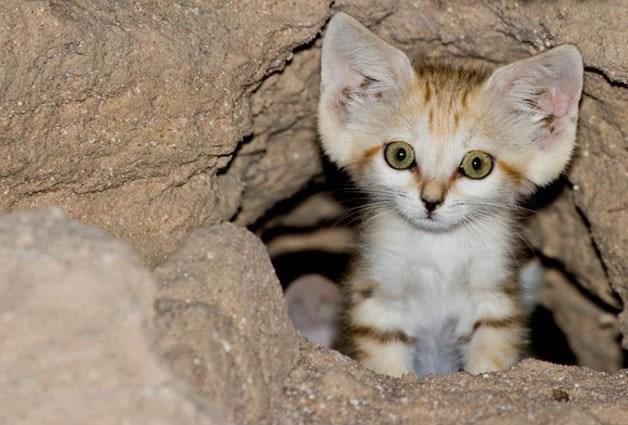 Sand Dune Kitten
