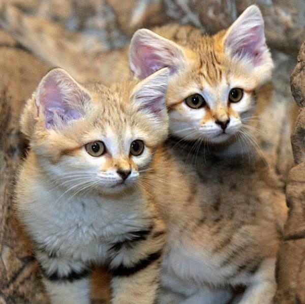 Sand Dune Cats